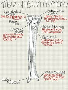 Tibia Diagram In A Dog Wiring Diagram On The Net