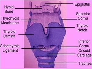 AN3 09:Laryngopharynx, Larynx and Speech at Touro ...
