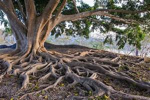 Flamboyant Tree Roots