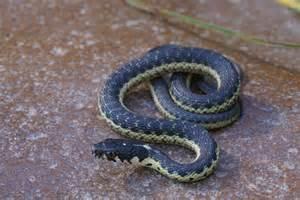Baby Garter Snake Look Like
