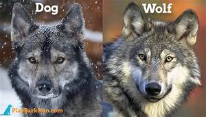 ewrapphoto puppies that look like wolves