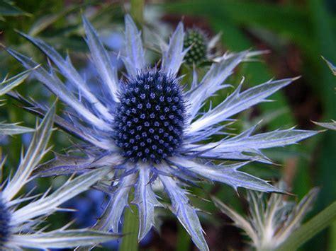 herbal healer   sea holly healthy living