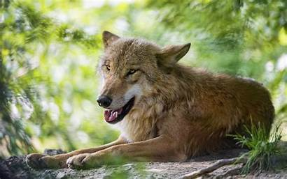 Wolf Brown Ground Lying Animals Animal Wallpapers