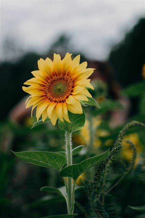 20 Sunflower Pictures [hq] Download Free Images On Unsplash