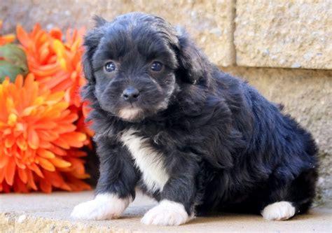 priscilla aussiedoodle mini puppy  sale keystone