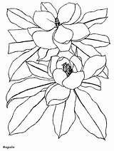 Coloring Magnolia Pages Flowers sketch template