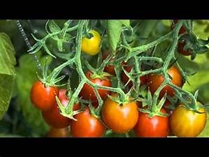 Growing Grape Tomatoes   How to Grow a Tomato Plant   How ...