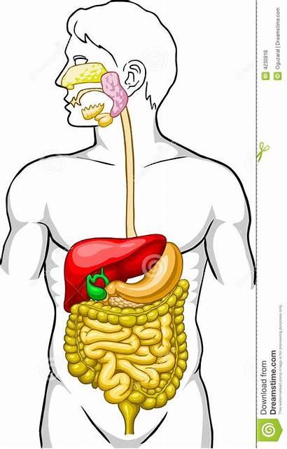 Digestive System Human Illustration Vector