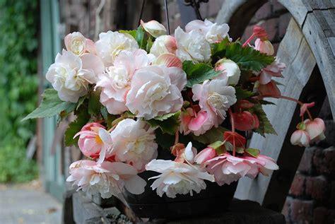 florissa sensational begonias