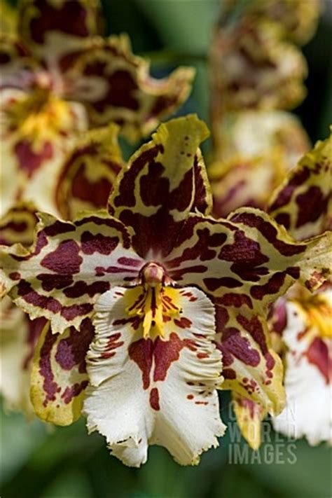 images  oncidium orchids  pinterest horns