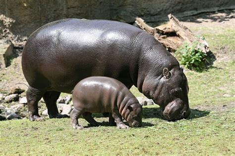Image result for a picture of a hippo