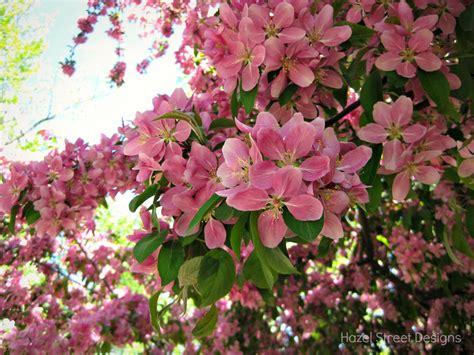 pink flowering trees living in my pajamas pink spring trees