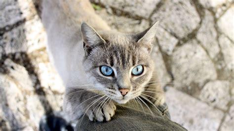 cat nature animals blue eyes mammals wallpapers hd