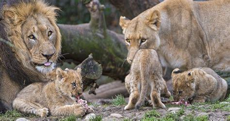 découvrez le système social des lions uniques félins à s organiser en groupe daily