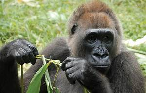 Climate change and evolution of Cross River gorillas | Max ...