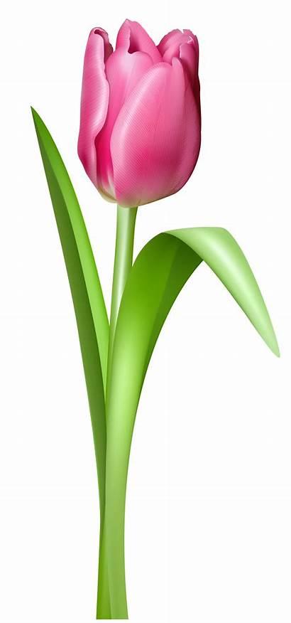 Transparent Flowers Tulip Clipart Clip Cartoon Flower