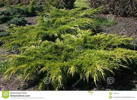 Garden Decorative Bushes by Ornamental Bushes Royalty Free Stock Photography Image