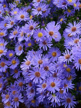 aster woods blue flower garden plans perennials
