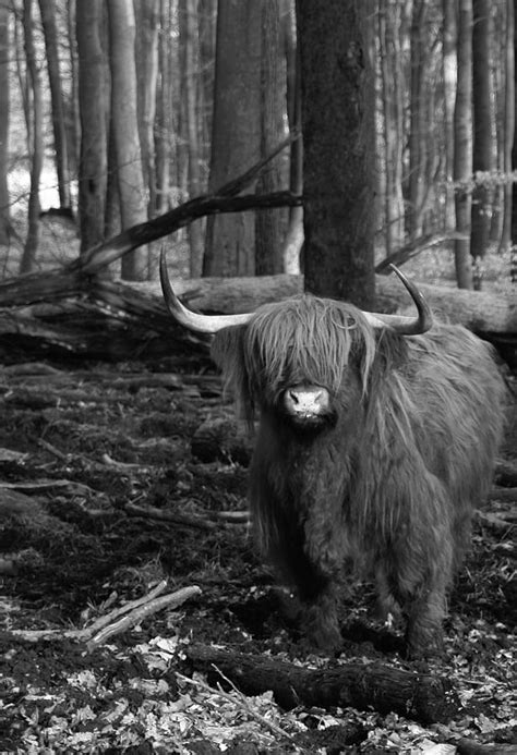 Scottish Highland Cattle Black And White Photograph by
