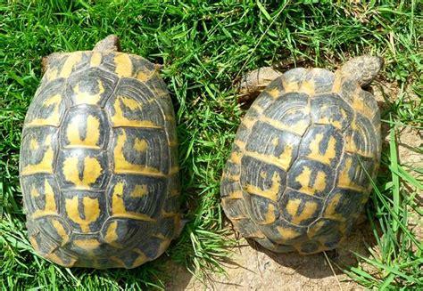 la tortue d hermann