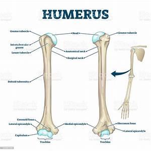 Humerus Bone Labeled Vector Illustration Diagram Stock