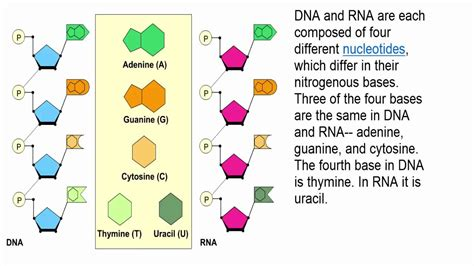 Dna And Rna Structure Youtube