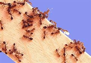 Ameisen Bekämpfen Wohnung : rote oder rote ameisen in der wohnung was tun mit ihnen ~ Michelbontemps.com Haus und Dekorationen