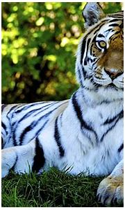 Amazing HD Pic of Tiger   HD Wallpapers