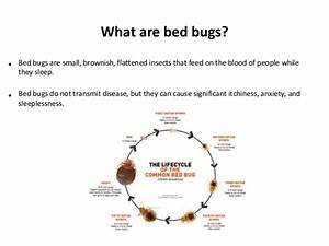 do bed bugs come out in light earwig facts about earwigs With do bed bugs come out when the lights are on
