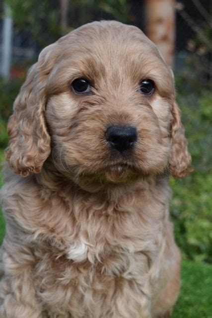 spoodle breed information puppy information banksia
