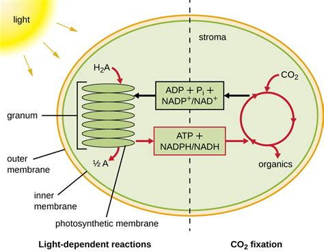 Where In The Chloroplast Do The Light Reactions Occur by 8 6 Photosynthesis And The Importance Of Light Biology
