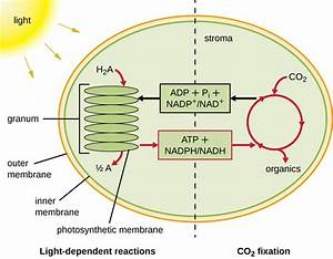 8 6  Photosynthesis And The Importance Of Light
