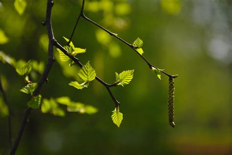 branch, Leaves, Bud, Blurred, Background Wallpapers HD ...