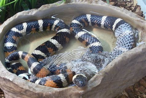 Snake Skin Shedding Use by Slithering Snakes Facts For Nature