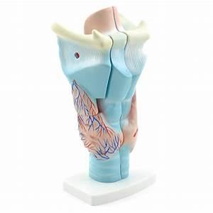 Larynx Model | Anatomical models | HeineScientific