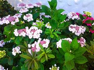 Hortensien Wann Pflanzen : hortensien aussaat pflege sorten ~ Lizthompson.info Haus und Dekorationen