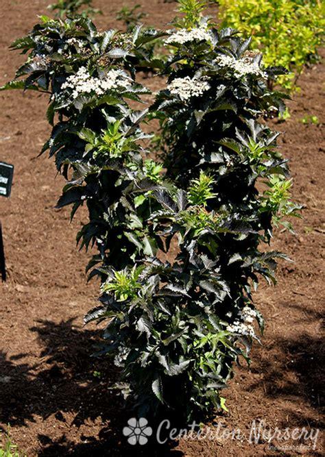 black tower elderberry