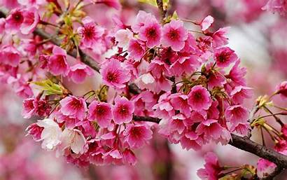 Spring Blossoms Wonderful Flowers Wallpapers Blossom Flower