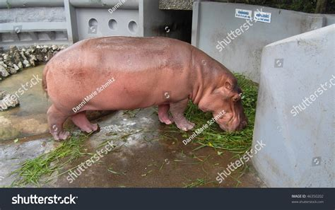 Albino Hippopotamus Stock Photo 46350202