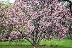 Rosa Blühender Baum Im Frühling : rosa bl hender baum bei morton arboretum in lisle ~ Lizthompson.info Haus und Dekorationen