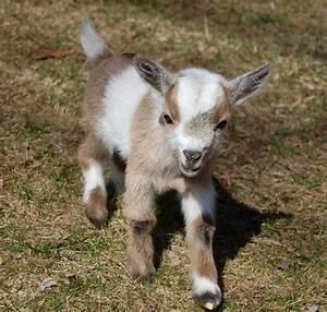 Miniature Goats as Pets | Goats - For Sale Ads - Free ...