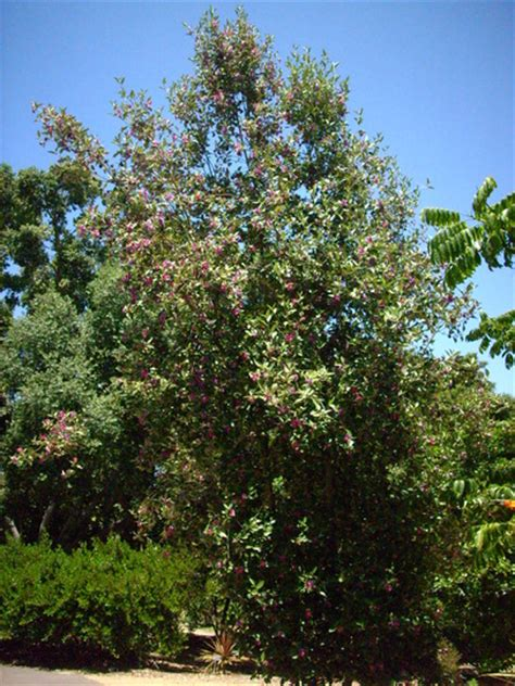 primrose tree picture lagunaria patersonii primrose tree cow itch tree grows on you