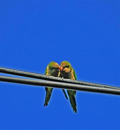 Quaker Parrots Silive Island Smart