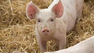 Uk Pig Price To Rise Within Weeks Over China Asf Crisis