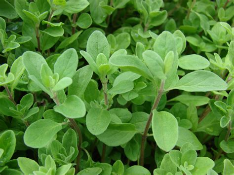 herbs plants pictures sweet marjoram heirloom herb seed sweet marjoram seed sweet marjoram herb seed organic heirloom