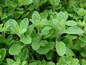 SWEET MARJORAM-Heirloom Herb Seed SWEET MARJORAM SEED ...