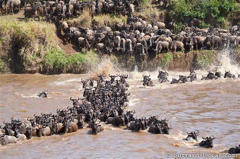 migration mara river burrard lucas photography