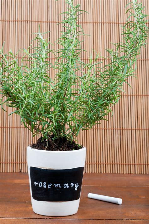 come coltivare il rosmarino in vaso come coltivare rosmarino casa vaso balcone 6 non sprecare