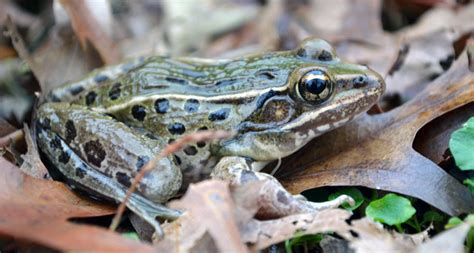 how many sts to put on a letter new frog discovered in new york city science news for 4928