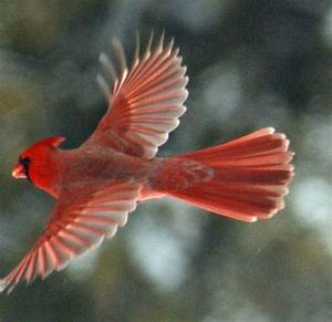 858 best RED BIRDS!! images on Pinterest | Beautiful birds ...